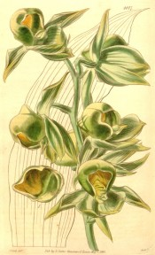 Figured is an outline of the plicate leaf and spike of yellow and green flowers.  t.4017, 1843.