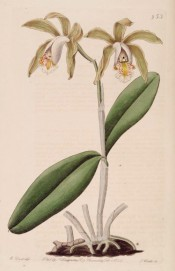 Figured are the leathery leaves and stem-like pseudo bulb bearing yellowish green flowers.  Botanical Register f.953, 1825.