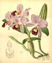 Figured are pseudobulbs, leaves and rose-purple flowers with yellow markings.  Curtis's Botanical Magazine t.4270, 1846.