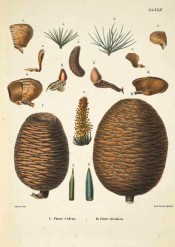 Leaves, cones and seeds of Pinus Deodara are illustrated.  Die Coniferen t.XXII, 1840-42.
