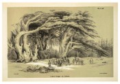 The illustration is an uncoloured lithograph of mature trees in Lebanon.  Die Coniferen p.105, 1840-41.