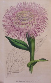 Figured are leaves and a mauve-pink flower with numerous ray florets.  Flore des Serres f.327, 1848.