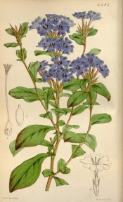 Shown are obovate, wavy-margined leaves and terminal spikes of bright blue flowers.  Curtis's Botanical Magazine t.4487, 1850.