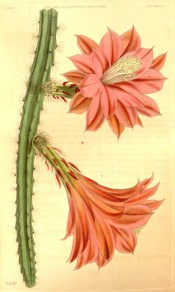 Figured is a cactus with ribbed stems and deep red-pink flowers.  Curtis's Botanical Magazine t.3822, 1840.