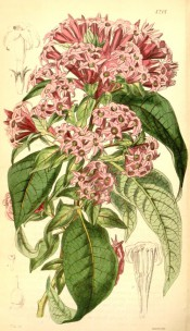 Figured are lanceolate leaves and terminal corymbs of funnel-shaped red flowers.  Curtis' Botanical Magazine t.4201, 1845.