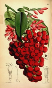 Figured are lanceolate leaves and cymes of tubular red flowers and red berries.  Curtis' Botanical Magazine t.5659, 1867.