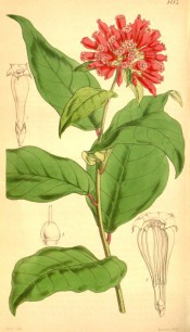 Figured are ovate-lanceolate leaves and terminal cyme of tubular red flowers.  Curtis' Botanical Magazine t.4183, 1845.