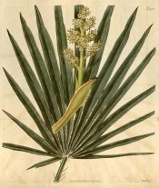The image shows fan-like frond and flowering stem only.  Curtis's Botanical Magazine t.2152, 1820.
