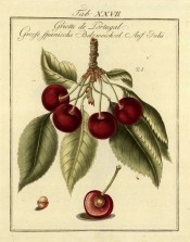 Shown is a fruiting shoot with leaves and 4 large, round, red cherries + sectioned cherry. Pomona Franconica vol.2, t.27, 1801.