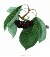 Figured is a fruiting branch with ovate leaves and heart-shaped black cherries. Pomonia Londinensis pl.31, 1818.