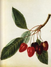 Figured is a fruiting shoot with leaves and elongated, heart-shaped red cherries. Pomona Brittanica pl.9/1812.