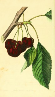 Figured is a fruiting branch with ovate leaves and round deep red, almost black cherries. Pomological Magazine t.93, 1829.