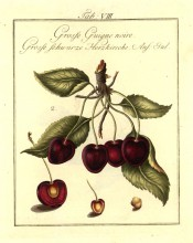 Shown is a fruiting shoot with leaves, 4 large, heart-shaped, red cherries + a section. Pomona Franconica vol.2, t.8, 1801.