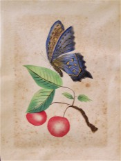 The illustration is a water colour of red cherries with blue butterfly, painted in the Camden district in the 19th century.
