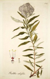 Figured is a branch with opposite lance-shaped leaves and terminal panicle of small white flowers.  Jacquin Sch. pl.29, 1797-04.