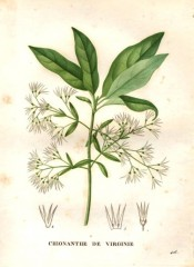The image shows glossy leaves and small, starry white flowers.  Saint-Hilaire pl.416, 1832.