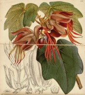 Figured are large lobed leaves and red flowers with very prominent hand-like stamens.  Curtis's Botanical Magazine t.5135, 1859.