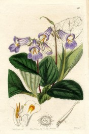 The image depicts a plant with deep green leaves and mauve flowers.  Botanical Register f.59, 1844.