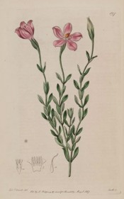 Illustrated are the lance-shaped leaves and purplish-red salverform flowers.  Botanical Register  f.197, 1817.