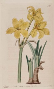 Shown are the linear leaves and three golden yellow trumpet-shaped flowers.  Botanical Register f.640, 1822.