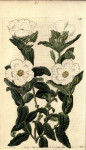 Figured is a shrub with hairy, elliptic, deep green leaves and white salverform flowers.  Cistinae t.19, 1825-30.