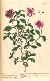 Illustrated are the wavy-margined, deeply veined leaves and terminal cymes of purple-pink flowers.  Blackwell pl.197, 1737.