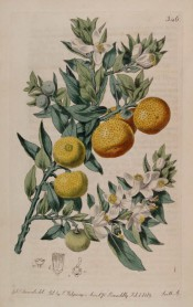Figured is a flowering shoot with glossy leaves and several round, ripe orange fruits. Botanical Register f.346, 1818.