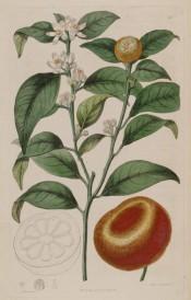 Figured is a flowering shoot with glossy leaves, immature fruit + ripe mandarin orange. Botanical Register f.211, 1817.