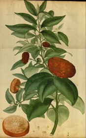 The picture shows a flowering and fruiting branch of a mandarin tree, with a fruit in section.