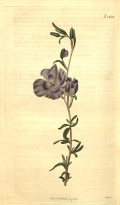 Figured are lance-shaped leaves and violet-coloured, bowl-shaped  flowers.  Curtis's Botanical Magazine t.2424, 1823.