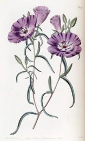 Figured are elliptical leaves and bowl-shaped purple flowers.  Botanical Register f.1587, 1833.