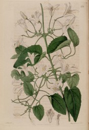 Figured are 3-palmate, toothed leaves and clusters of axillary, white campanulate flowers.  Botanical Record f.238, 1817.
