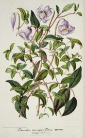 Shown is a climber with 3-palmate leaves and single, pendant, bell-shaped lilac flowers. Illustration Horticole v.2, p.78, 1855.