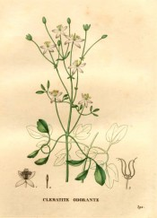 Figured is a climber with 3-palmate leaves and upright panicle of small white flowers.  Saint-Hilaire pl.392, 1831.