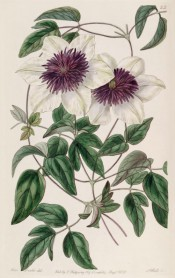Shown is a climber with 3-palmate leaves and single white flowers with prominent purple stamens.  Botanical Register f.25, 1838.