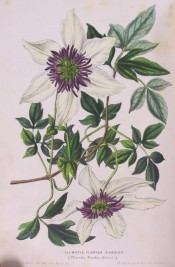 Shown is a climber with 3-palmate leaves and single white flowers with purple stamens.  Flore des Serres f.487, 1849.