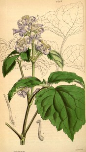 Figured are vine-like leaves and panicle of long-tubed purple flowers.  Curtis's botanical Magazine t.4269, 1846.