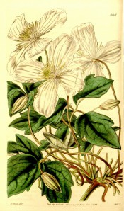 Figured is a climber with 3-palmate, dentate leaves and clusters of white flowers.  Curtis's Botanical Magazine t.4061, 1844.