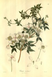 Figured is a climber with 3-palmate, dentate leaves and axillary clusters of white flowers.  Wallich pl.217, 1832.