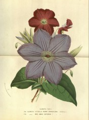 Two clematis are illustrated, with small red flowers (viticella rubra) and large blue flowers.  Flore des Serres p.20, 1874.