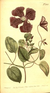 Figured is a climber with 3-palmate leaves and small clusters of single purple flowers. Curtis's Botanical Magazine t.565, 1802.