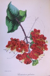 Shown are ovate, pointed leaves and pendant terminal cyme of deep scarlet flowers. Paxton's Magazine of Botany p.103, 1842.