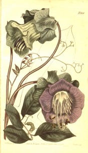 The illustration shows leaves and tendrils and large purple, cup-shaped flower.  Curtis's Botanical Magazine t. 851, 1805.
