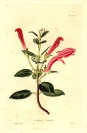 Depicted is a flowering shoot with glossy leaves and upright red flowers. Loddiges Botanical Cabinet no.403, 1820.