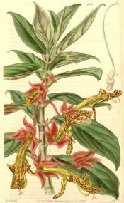 Shown is a climber, leaves crimson beneath, and yellow-brown flowers, marked dark red. Curtis's Botanical Magazine t.4045, 1843.