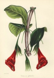 Shown is a climber with ovate leaves and scarlet flowers, spotted inside with dark red.  Paxton's Magazine of Botany p.26, 1842.