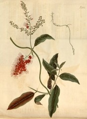The image shows the lance-shaped leaves and panicles of bright red flowers.  Curtis's Botanical Magazine t.2102, 1819.