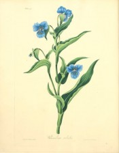 The image depicts a flowering stem with lance-shaped leaves and bright blue flowers.  Roscoe pl.47, 1831.