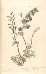 The image shows the entire plant, leaves, blue flowers and seed pods.  Blackwell pl.26, 1737.