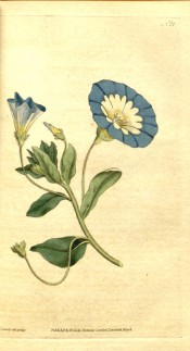 Shown are the leaves and blue, yellow and white trumpet-shaped flowers.  Curtis's Botanical Magazine t.27, 1787.